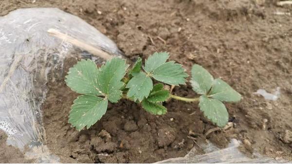 田轻松草莓圈-草莓移栽蘸根很重要,蘸根后有哪些好处呢?