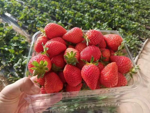 草莓圈-草莓全程施肥解决方案