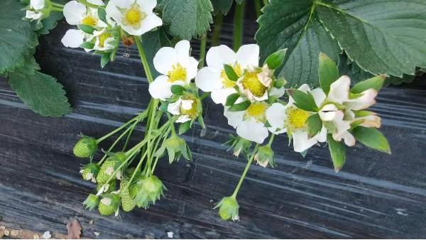 中牟武先生2号草莓使用田轻松草莓圈二月份水肥管理解决方案