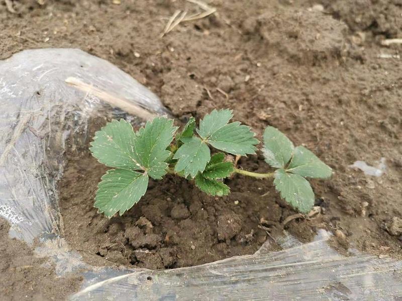 草莓苗移栽解决方案