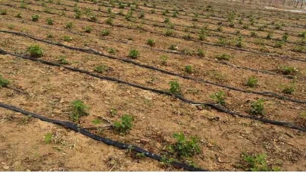 草莓圈分享草莓幼苗什么时候施肥?草莓苗施肥用什么肥料好?
