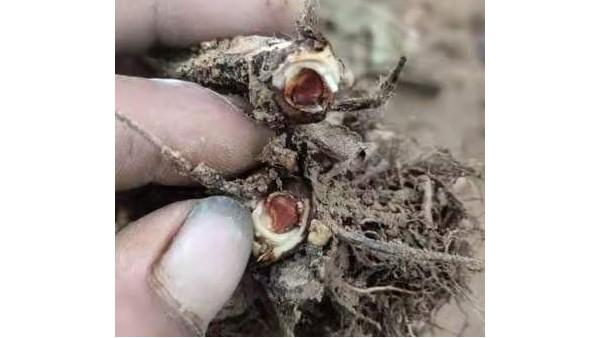 防治草莓炭疽病三种药草莓炭疽病用哪种药好