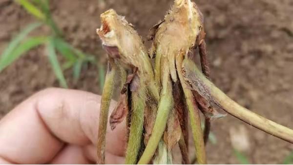 草莓炭疽病如何防治高温高湿预防草莓炭疽病发生