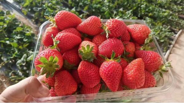 草莓领域有没有肥料专家?