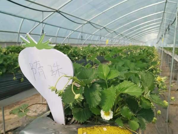 草莓苗种植技术 对自然环境要求什么时候种植