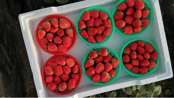 草莓生长需要什么肥料?花期、结果期施什么肥好?田轻松草莓圈