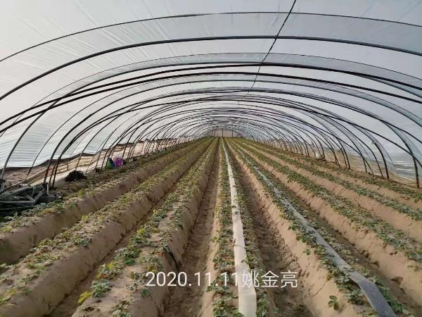 草莓苗移栽种植中各时期追肥方案