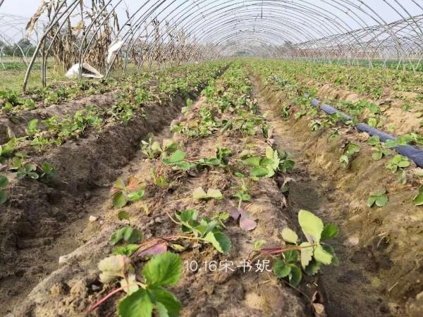 草莓苗如何莓起苗可以提高幼苗的存活率