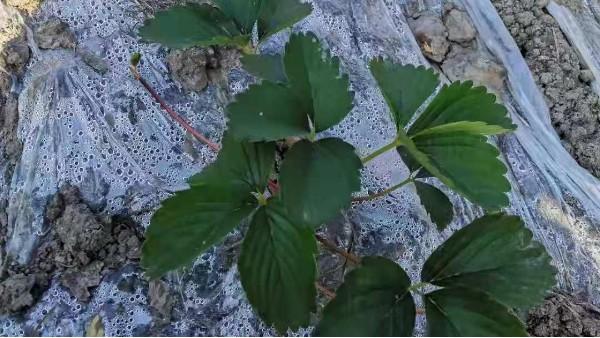 草莓育苗为什么不发匍匐茎?快来学习一下!田轻松草莓圈