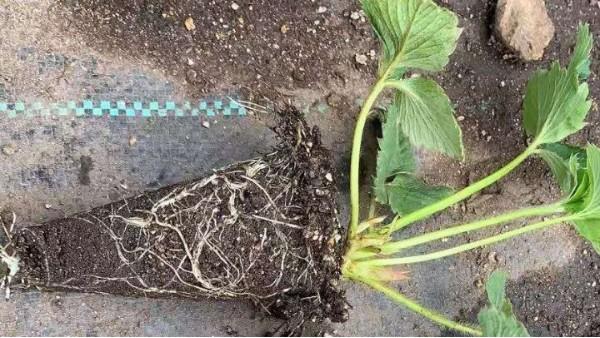 草莓脱毒苗繁育技术体系 关注草莓圈 轻松种草莓