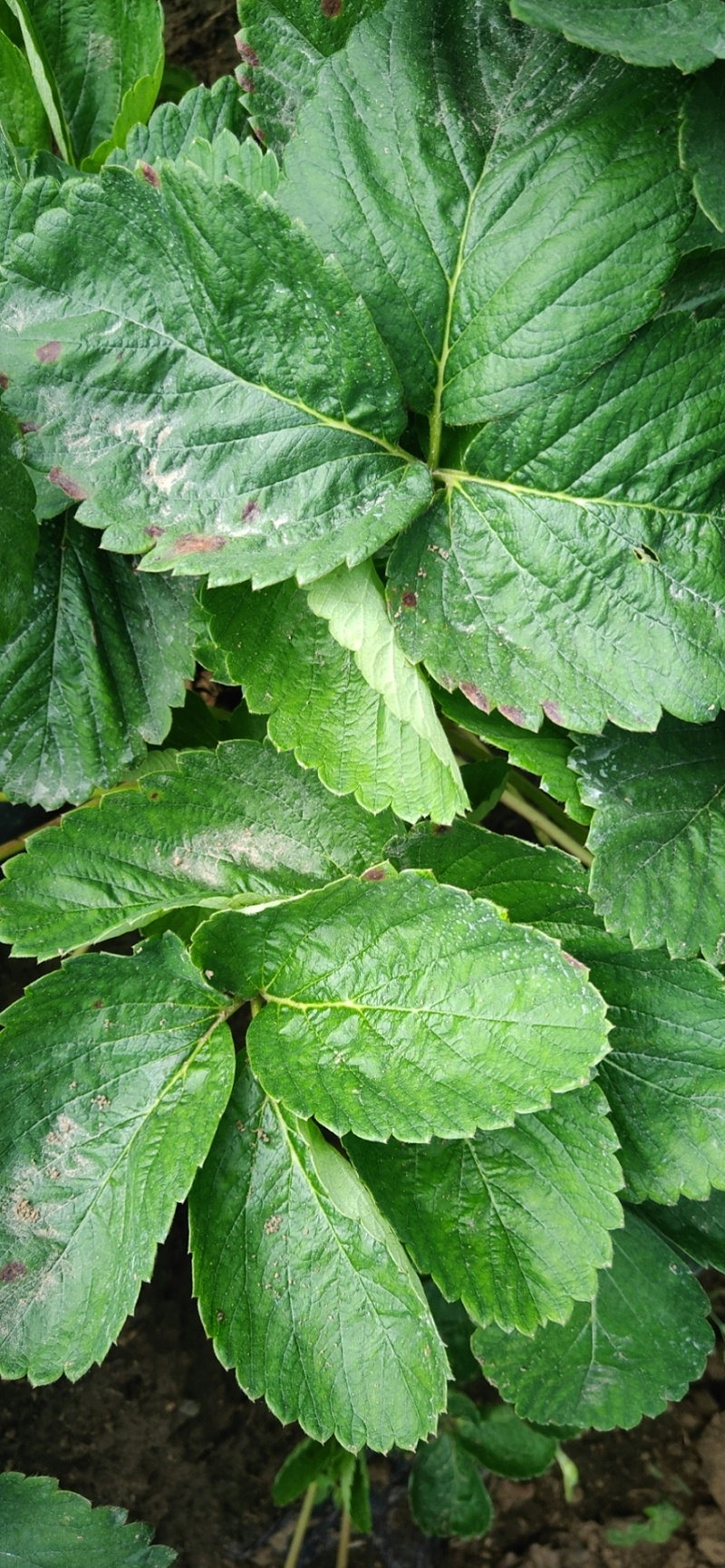 草莓炭疽病