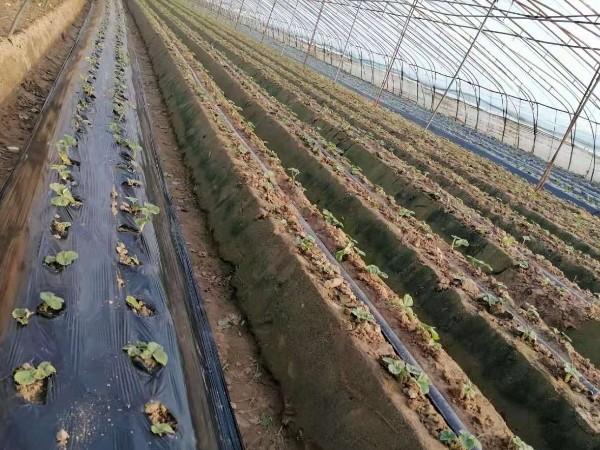 草莓定植后死棵烂苗需综合预防!莓农们抓紧收藏