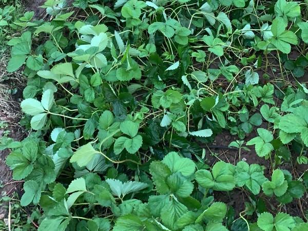 草莓苗种植技术