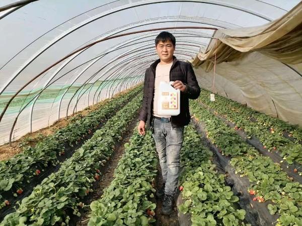 中牟胡先生宁玉草莓使用田轻松草莓圈二月份水肥管理解决方案