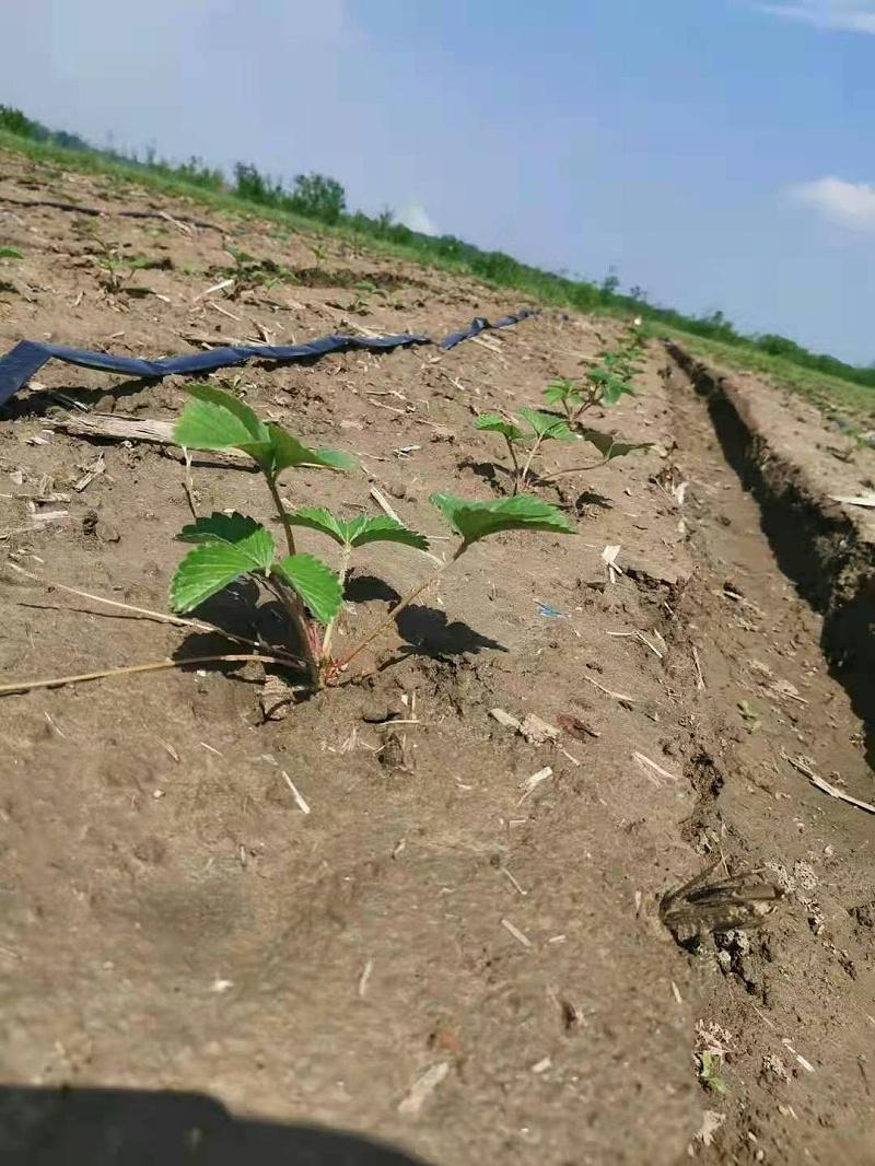 草莓育苗技术分享 5月分四大管理要点 关注草莓圈 轻松种草莓
