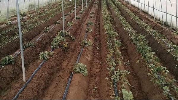 草莓底肥施肥技术农家肥究竟怎么发酵好?
