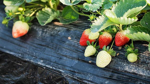 草莓个头小该用什么肥料