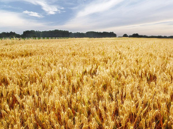 小麦防病增产第一遍(分蘖期)解决方案