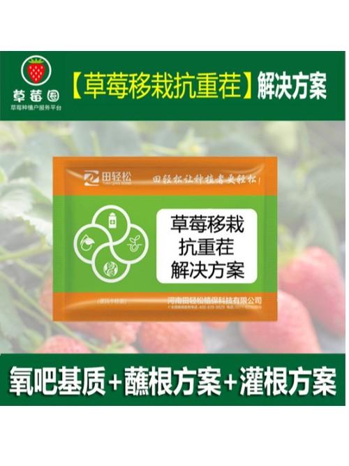 草莓苗种植技术草莓移栽抗重茬解决方案