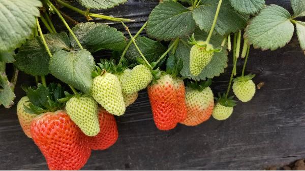 草莓膨果期怎么浇水?