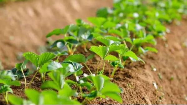 草莓苗种植技术草莓苗几月份种植怎么种植成活率高?