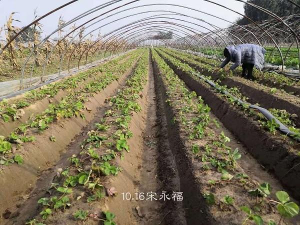 草莓种植技术草莓苗移栽后下一步该怎么做?