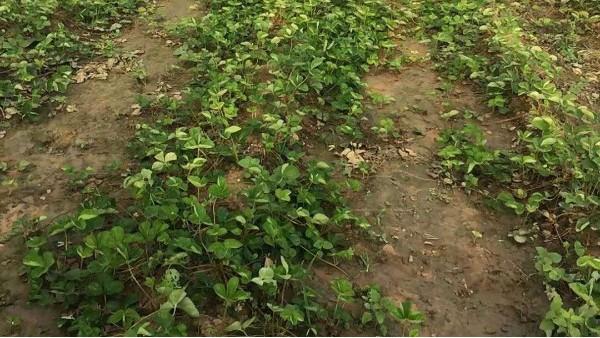 草莓育苗5-6月份怎么管理?