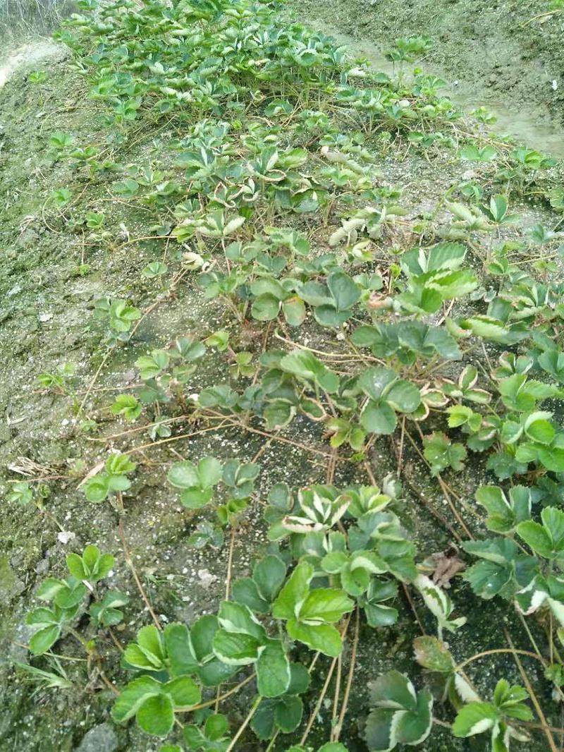 草莓黄萎病