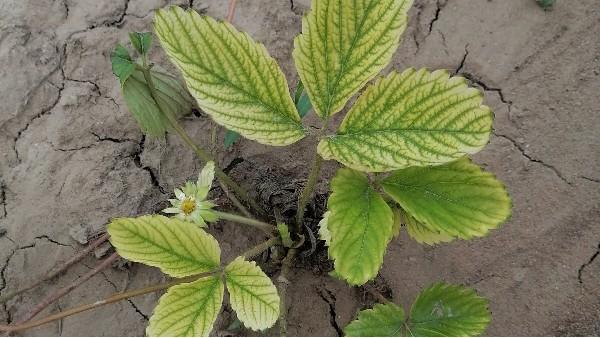 草莓苗种植技术草莓黄萎病多地爆发草莓圈告诉你防治方法
