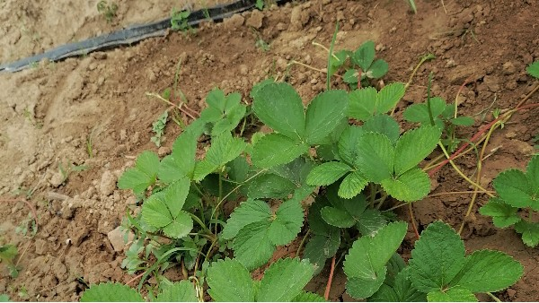 草莓苗种植技术如何让匍匐茎抽生更多上草莓圈轻松种草莓