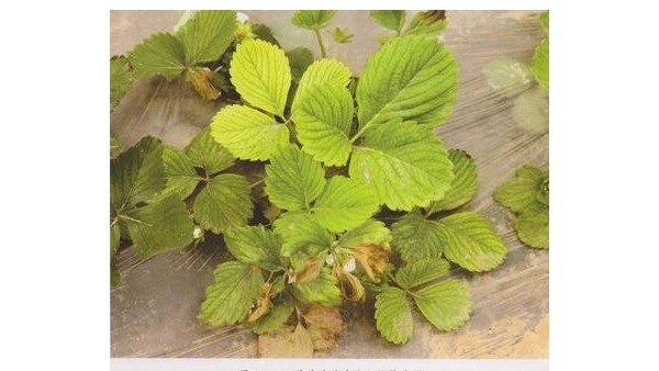 草莓种植技术草莓褐斑病和黄萎病危害症状及防治措施