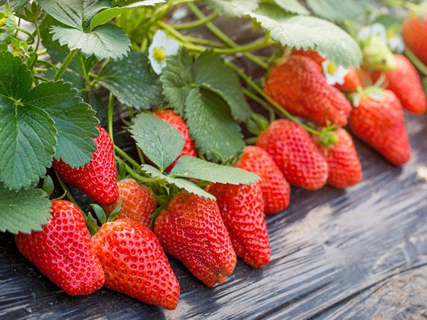 草莓圈草莓炭疽解决方案