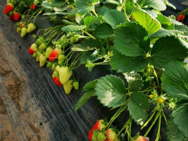 温室草莓如何正确浇水及注意事项