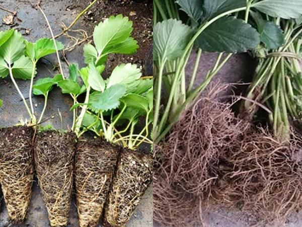 草莓圈为您详解裸根苗和基质苗优点及缺点
