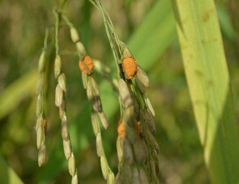 水稻稻曲病的特征