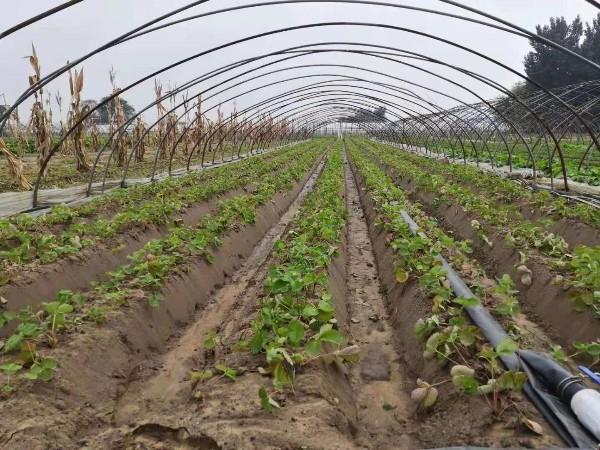草莓移栽种植技术定植前准备工作尤为重要草莓