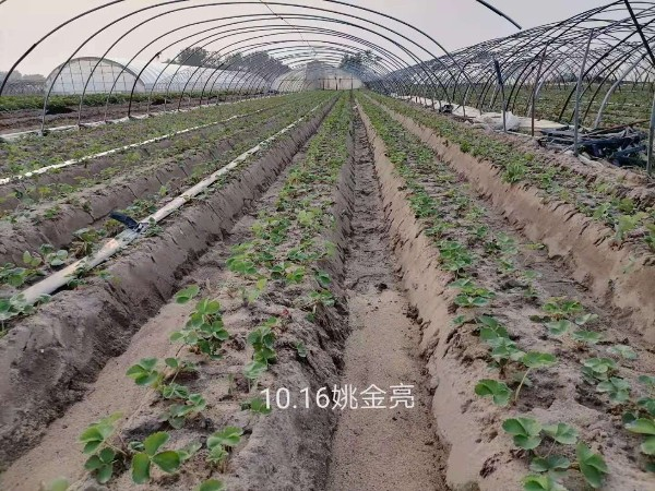 草莓种植怎么使用冲施肥?草莓圈种植技术详讲