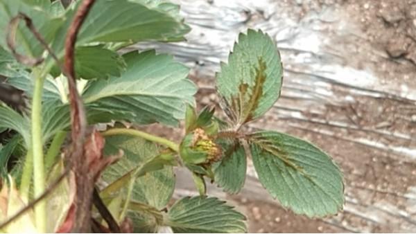 草莓细/菌性病害-空心断头病发病原因及防治方案 田轻松草莓圈