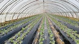 田轻松土壤氧吧基质,帮西春岗宋大哥缓解草莓死苗烂颗