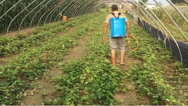 草莓苗床的一大难题—杂草如何用药?草莓圈分享除草剂药害解决办法