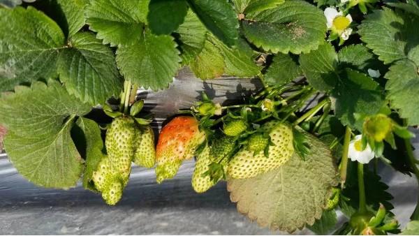 草莓畸形果是什么原因造成的及草莓畸形果预防方法
