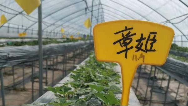 章姬草莓品种优缺点 新手草莓种植者必看