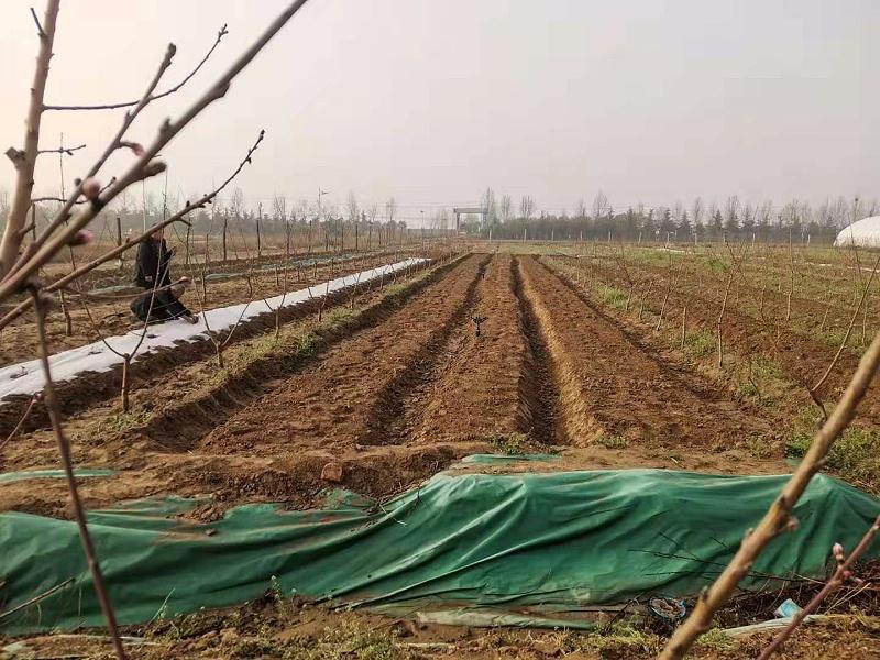 草莓种苗繁殖技术