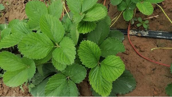 高温高湿草莓根腐病草莓黄萎病草莓炭疽病草莓易多病爆发