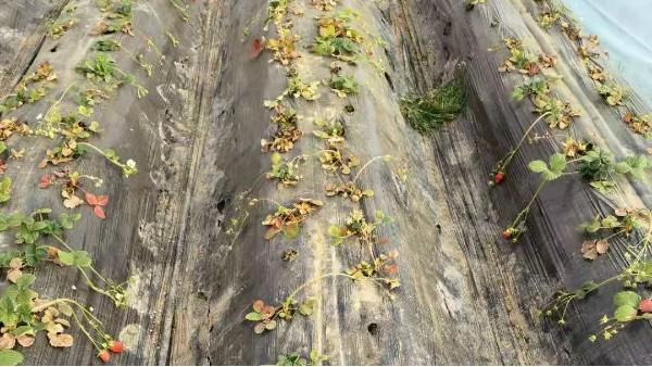草莓死棵比较严重,就选择田轻松草莓根腐病技术套餐